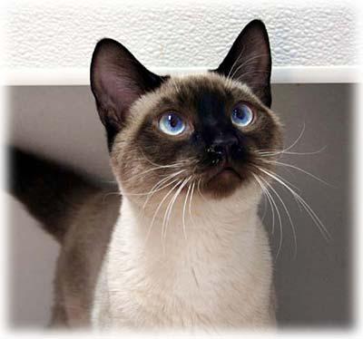 How To Adopt Snowshoe Cat