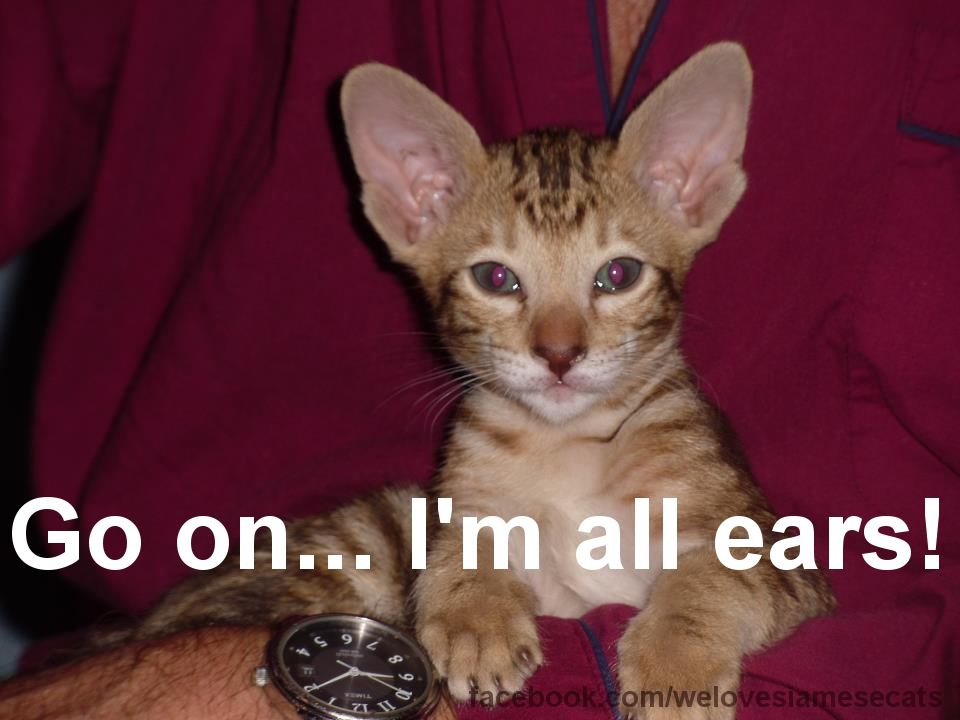 I'm All Ears! - Siamese Cat Spot